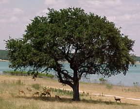 Deer under a tree at Canyon Lake
